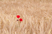 Poppies in the field of dry cereal — Stock Photo