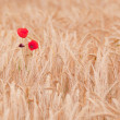 Poppies in field of dry cereal — Stock Photo #28300281