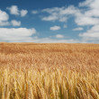 Wheat field and blue sky with clouds — Foto de Stock