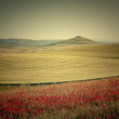 Fields of cereal and poppies — Stock Photo