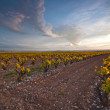 Vineyard on a spring sunset — Stock Photo
