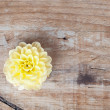 Yellow dalia flower on a wooden background — Stock Photo