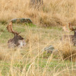 Stock Photo: Twoo deers resting in grass in meadow
