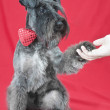 Black miniature schnauzer with a red bow tie shaking hand with owner — Stock Photo