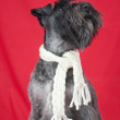 Black miniature schnauzer with a white scarf in red background — Stock Photo