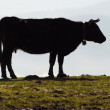 Cow silhouette in a grass field, and moisture in the background — Stock Photo