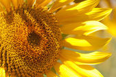 Sunflower detail — Stock Photo