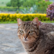 Tabby cat in the garden — Stock Photo