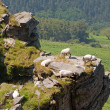 Some sheep in a crag. Green trees at the background — Foto Stock