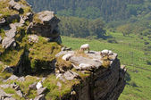 Some sheep in a crag. Green trees at the background — Stock Photo