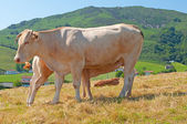 Cow and calf in a pasture of Navarre — 图库照片