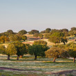 Oaks in the meadows in Extremadura, Spain — Stock Photo