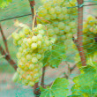 Bunches of grapes on the vines — Stock Photo