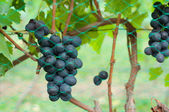 Bunches of red grapes on the vines — Stock Photo