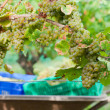Stock Photo: Newly harvested grapes in boxes, in vineyards