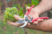 Man cutting white grapes in the vineyard — Stock Photo