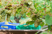 Newly harvested grapes in boxes, in the vineyards — Stock Photo
