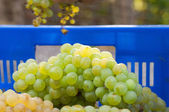 Newly harvested grapes in boxes — Stock Photo