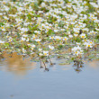 White flowers in the river water — Stock Photo