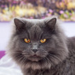 Beautiful gray cat with big yellow eyes — Foto Stock