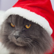 Beautiful gray cat with Santsuit, Christmas clothes — Stock Photo #37079985