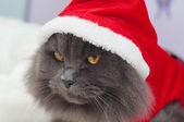 Beautiful gray cat with a Santa suit, Christmas clothes — Stock Photo