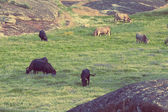 Cows in the meadows in Extremadura, Spain — Stock Photo