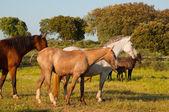 Horses in a field, farm in Extremadura, Spain — Stock Photo