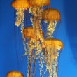 Pacific sea nettle - Stock Photo