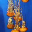 Pacific sea nettle — Stock Photo