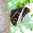 Tawny Owl Butterfly 2 — Stock Photo