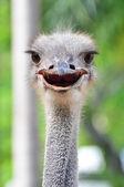 Smile ostrich — Stock Photo