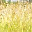 Golden grasses — Stock Photo #14184928