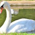 Beautiful white swan. — Stock Photo #14189240