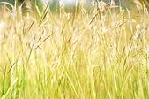 Golden grasses — Stock Photo
