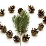 Pine plugs — Stock Photo