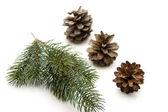 Pine plug — Stock Photo