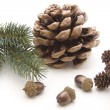 Pine plugs with acorns — Stock Photo