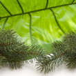 Green fir branch - Stock Photo