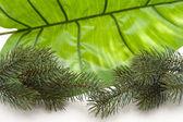 Green fir branch — Stock Photo