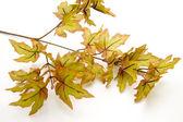 Foliage — Stok fotoğraf