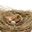 Stock Photo: Bird in bird nest