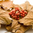 Stock Photo: Dry berries in autumn foliage