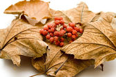 Dry berries in the autumn foliage — Stock Photo
