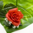 Rose on great plant leaf — 图库照片