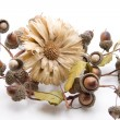 Stock Photo: Straw flower with acorns