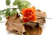 Rose with autumn foliage — Stock Photo