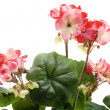 Geranium flower with blossoms - Foto Stock