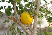 Orange in the tree — Stock Photo