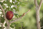 Red apple in the tree — Stock Photo